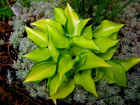 Hosta 'Cracker Crumbs'