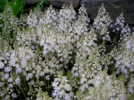 Tiarella cordifolia 'Brandywine'