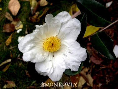 Camellia Northern Exposure Monrovia