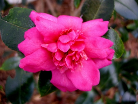 Camellia x 'Winter's Darling'