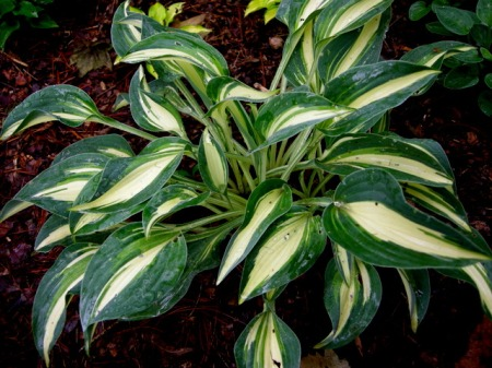 Hosta 'Little Treasure'