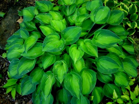 Hosta 'Tick Tock'