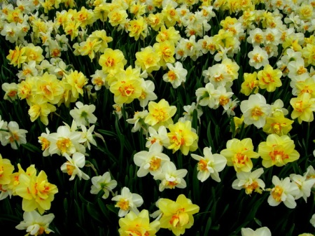 Narcissus Tahiti and Flower Drift