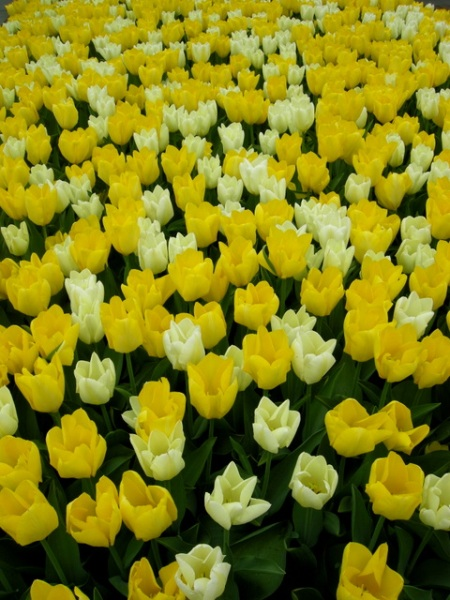 tulips at Longwood