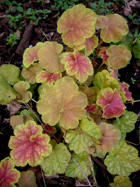 Heuchera villosa 'Miracle'