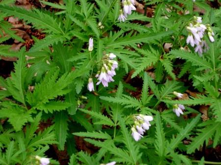 Cardamine concatenata, cutleaf toothwort