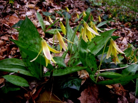 Erythronium americanum, adder's tongue