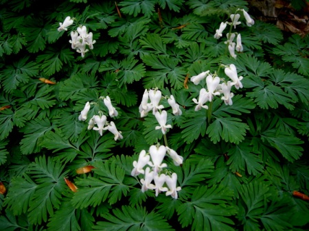 Dicentra cucullaria, squirrel corn