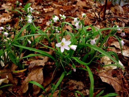 Claytonia virginica, spring-beauty