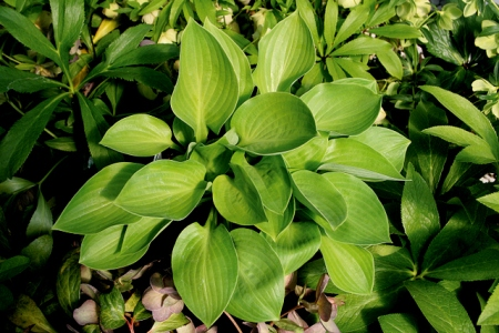 Hosta 'Regal Tot'