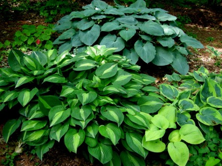 Hosta 'Stirptease'