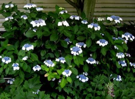 Hydrangea macrophylla Tokyo Delight 2 PRN