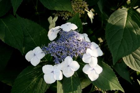 Hydrangea macrophylla Tokyo Delight PRN