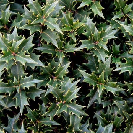 Osmanthus heterophyllus Gulftide PRN