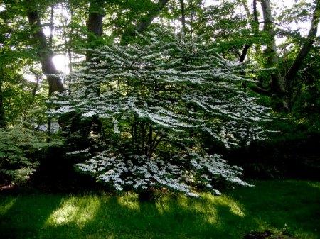 Viburnum plicatum var. tomentosum 5-7-2011 7-14-31 PM 5-11-2011 8-29-02 AM