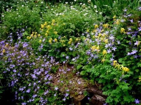 Geranium 'Katherine Adele', Corydalis lutea, Campanula 'Blue Waterfall'