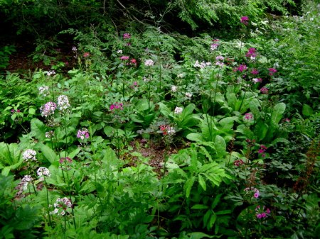 Primula japonica, astilbes, ferns