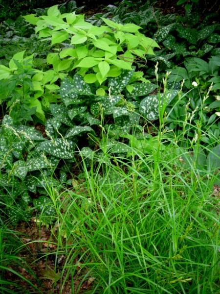 Leucosceptrum japonicum, Pulmonaria 'Leopard', Carex 'Oehme'