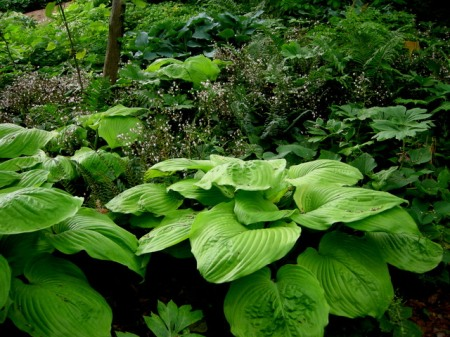 Hosta 'Sum and Substance', Podophyllum peltatum