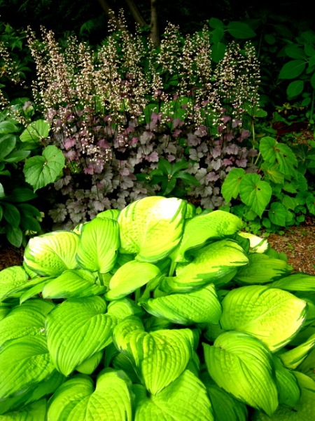 Hosta 'Eye Declare', Heuchera 'Stained Glass'
