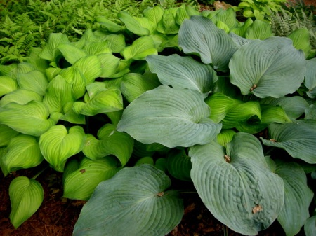Hosta 'Guacamole', Hosta 'Blue Angel'
