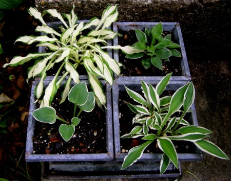 Hostas 'Shiro Kabitan', 'Dew Drop', 'Hi Ho Silver', 'Country Mouse'