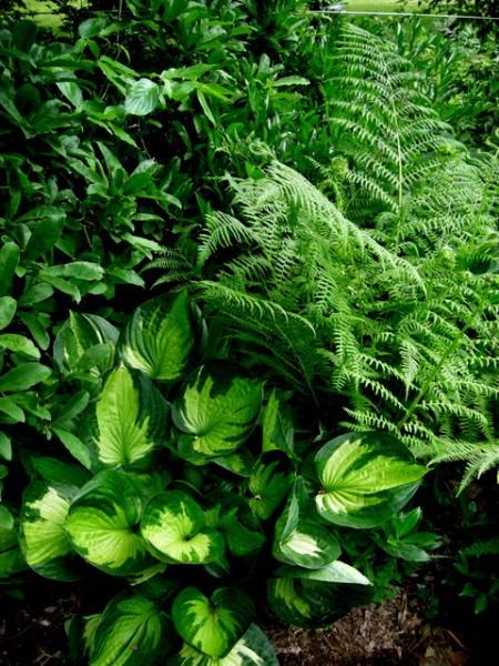 Hosta 'Whirlwind', fern