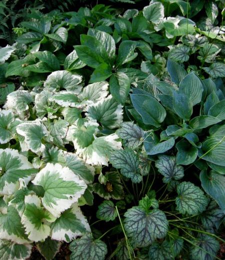 Brunnera 'Dawson's White', Heuchera 'Green Spice', Hosta Topaz