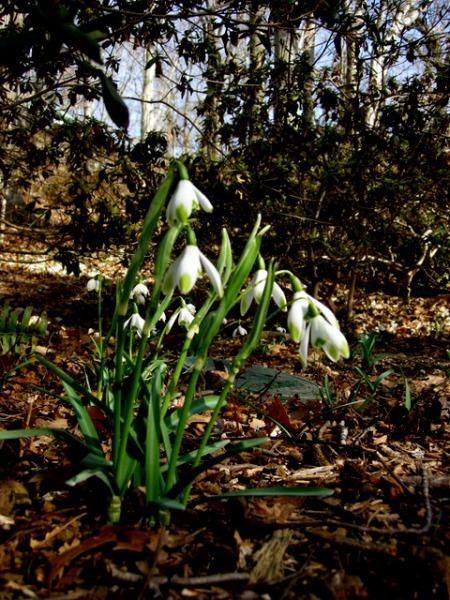 Galanthus nivalis 'Vidirapice'
