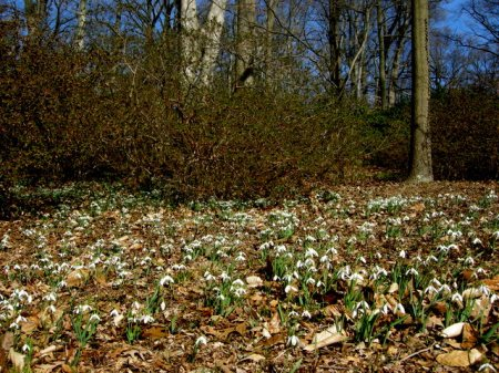 Galanthus at Winterthur