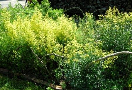 Ruta graveolens on right