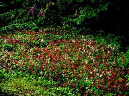 Primula japonica Winterthur