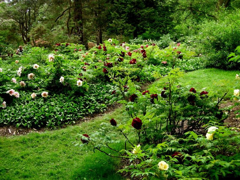 tree peony garden