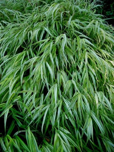 Hakonechloa macra 'Aureola'