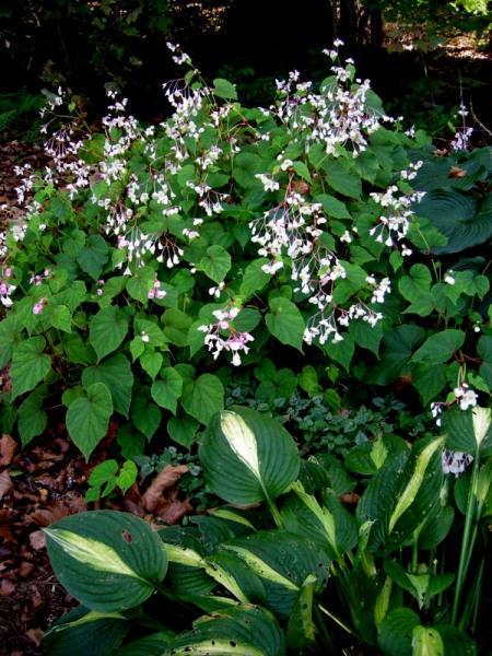 Begonia grandis 'Alba' & Hosta 'Striptease'