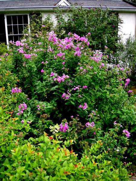 Phlox paniculata & Spiraea 'Magic Carpet'