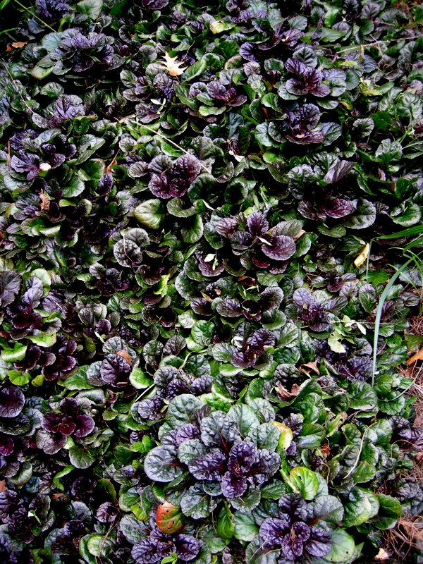 Black Scallop Ajuga Carolyn S Shade Gardens