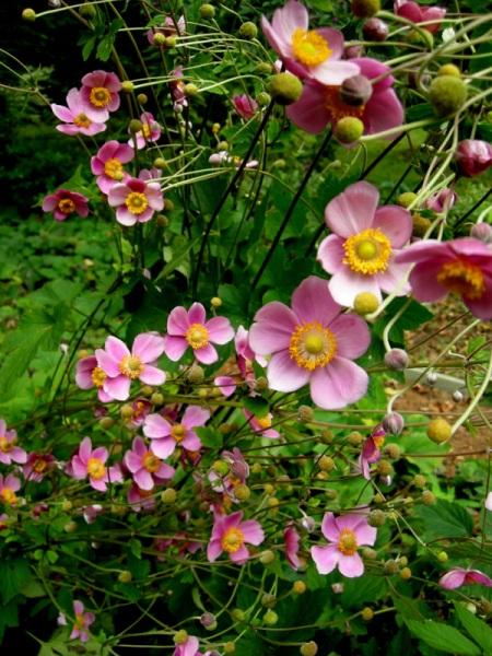 Anemone x 'September Charm'