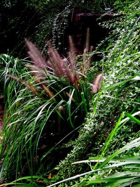 Pennisetum 'Moudry'