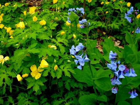 Stylophorum diphyllum & Mertensia virginica