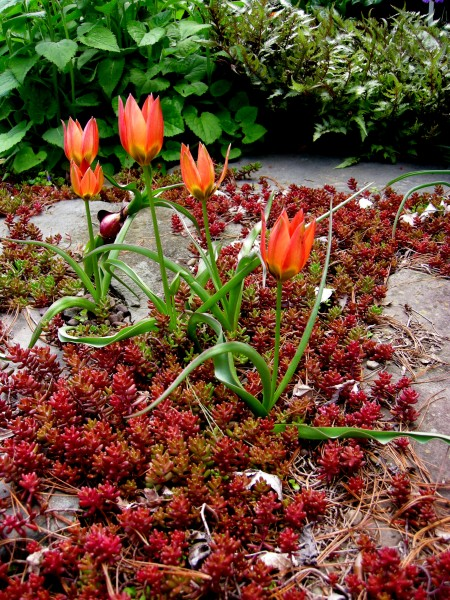 Tulipa 'Little Princess' & Sedum album