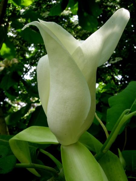 Magnolia ashei