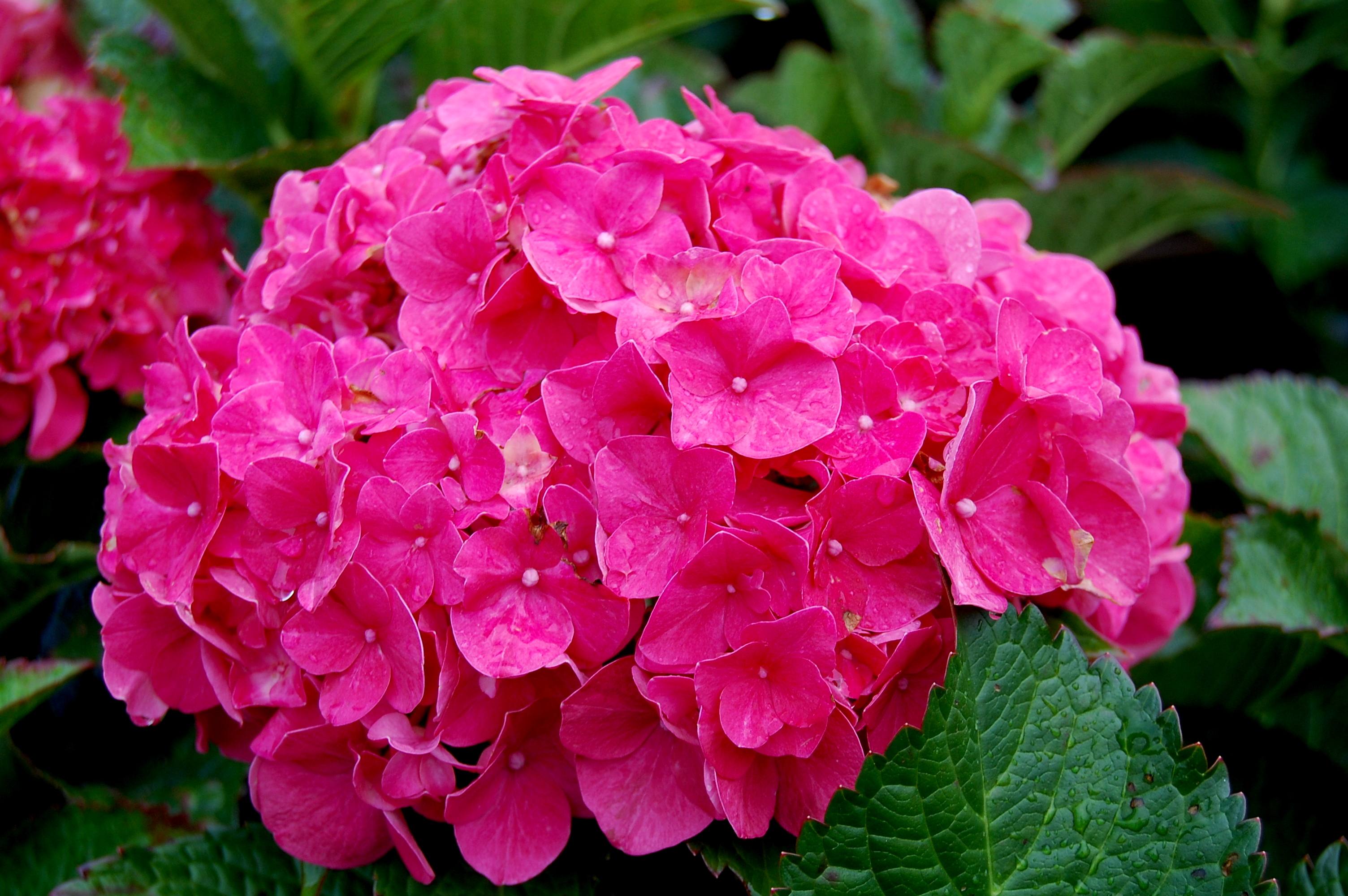 hydrangea macrophylla forever pink carolyn 39 s shade gardens. Black Bedroom Furniture Sets. Home Design Ideas