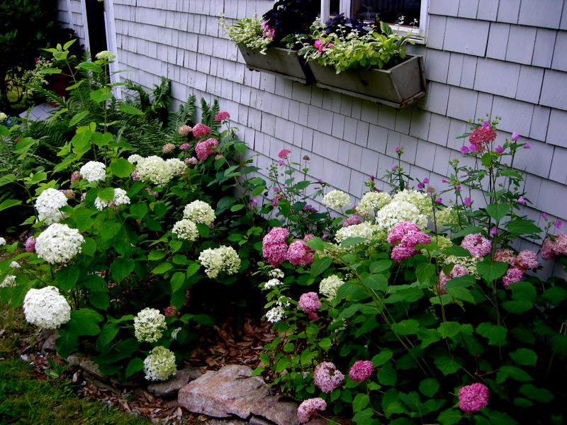 Wonderful Hydrangea arborescens Incrediball | CAROLYN'S SHADE GARDENS KR06