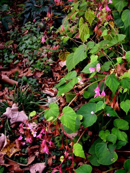Begonia grandis