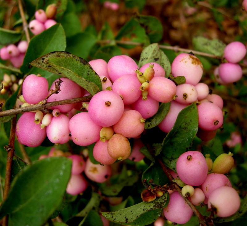 Symphoricarpos Amethyst Carolyn S Shade Gardens