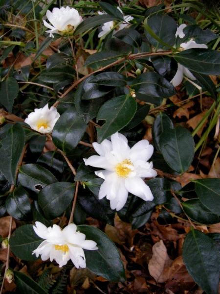 Camellia x 'Elaine Lee'