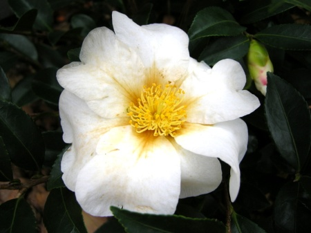 Camellia Winter's Star White