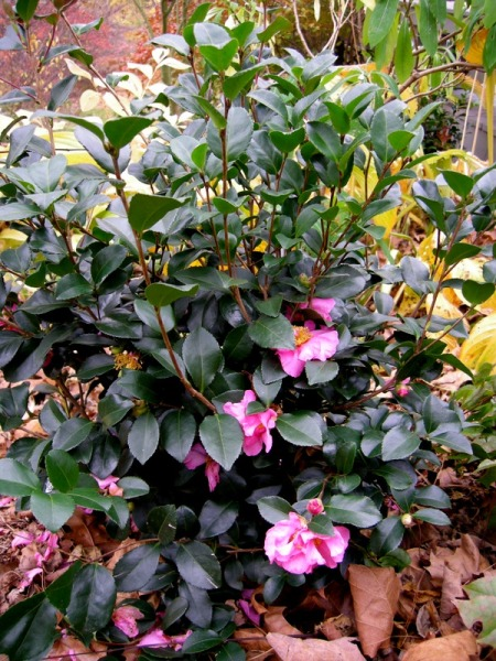 Camellia Long Island Pink