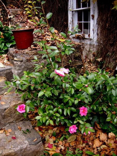 Camellia Winter's Joy